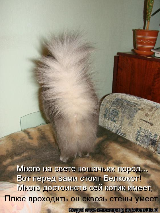 Котоматрица: Много на свете кошачьих пород... Вот перед вами стоит Белкокот! Много достоинств сей котик имеет, Плюс проходить он сквозь стены умеет!