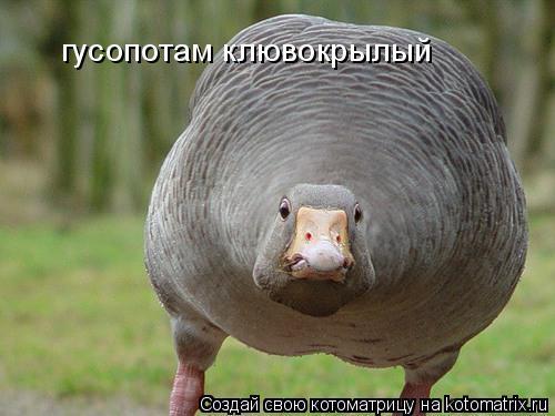 Котоматрица: гусопотам клювокрылый