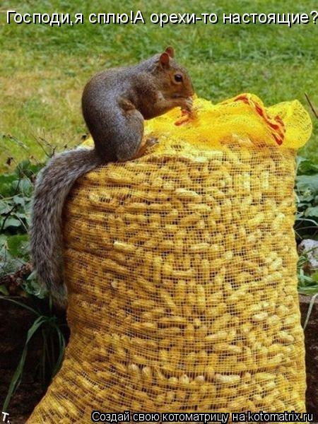 Котоматрица: Господи,я сплю!А орехи-то настоящие?