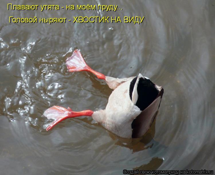 Котоматрица: Головой ныряют - ХВОСТИК НА ВИДУ Плавают утята - на моём пруду...