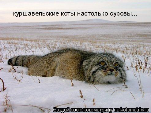 Котоматрица: куршавельские коты настолько суровы...