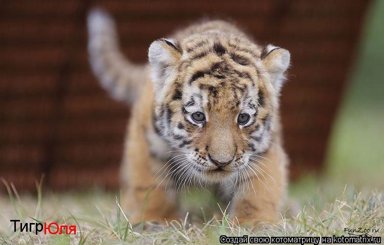 Котоматрица: Тигр Юля
