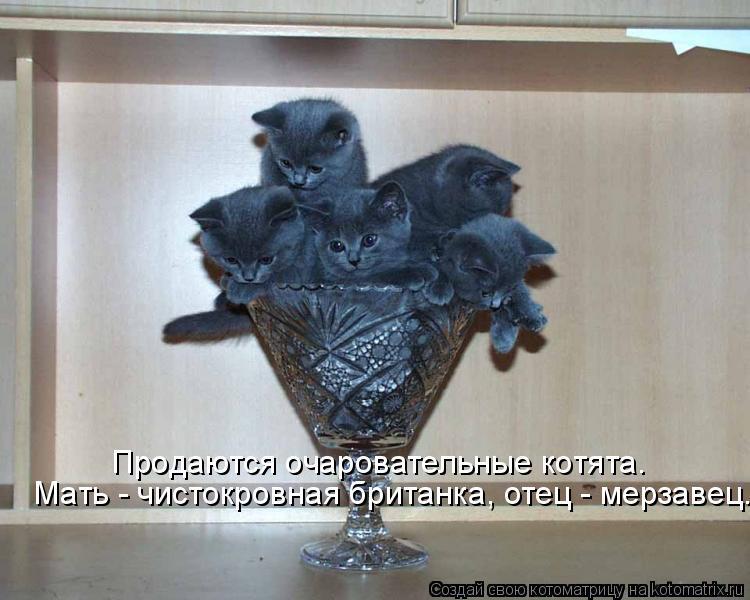 Котоматрица: Продаются очаровательные котята.  Мать - чистокровная британка, отец - мерзавец.
