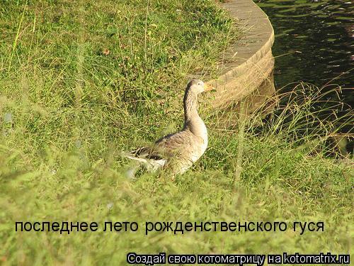 Котоматрица: последнее лето рожденственского гуся