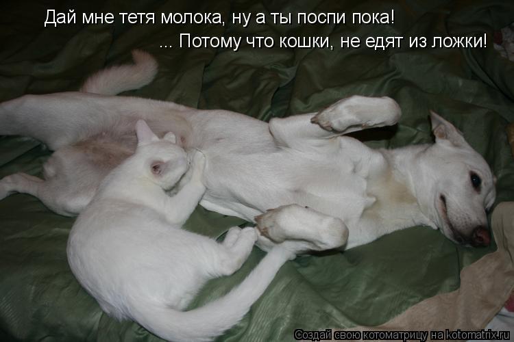 Котоматрица: Дай мне тетя молока, ну а ты поспи пока! ... Потому что кошки, не едят из ложки!