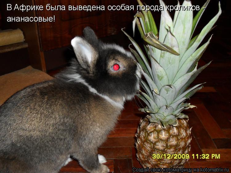 Котоматрица: В Африке была выведена особая порода кроликов - ананасовые!