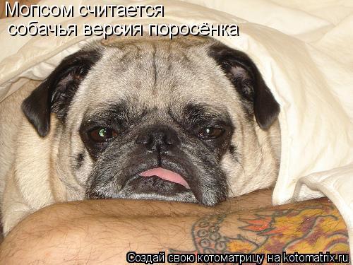 Котоматрица: Мопсом считается собачья версия поросёнка