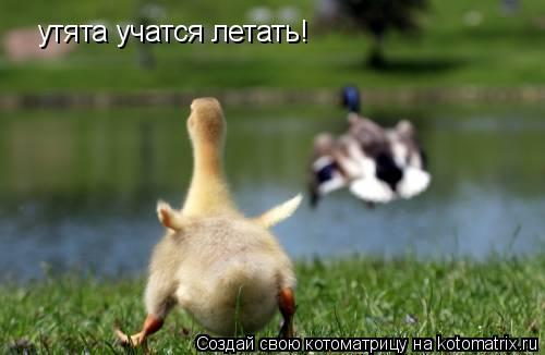 Котоматрица: утята учатся летать!