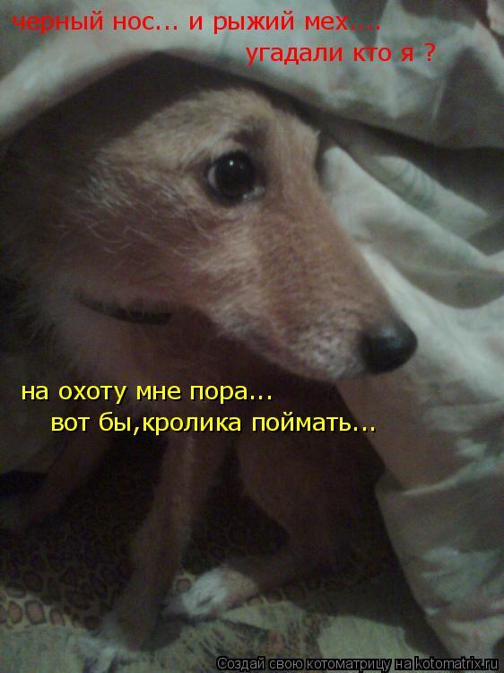 Котоматрица: черный нос... и рыжий мех.... угадали кто я ? на охоту мне пора... вот бы,кролика поймать...