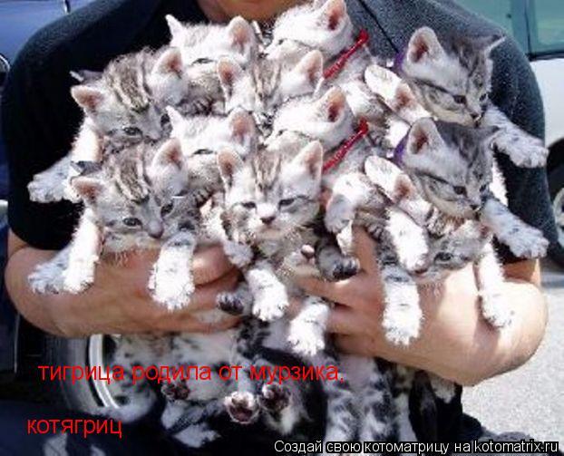 Котоматрица: тигрица родила от мурзика, котягриц