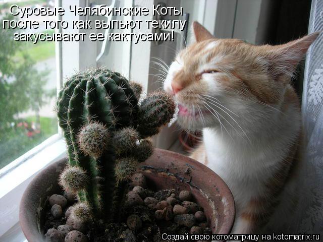 Котоматрица: Суровые Челябинские Коты после того как выпьют текилу закусывают ее кактусами!