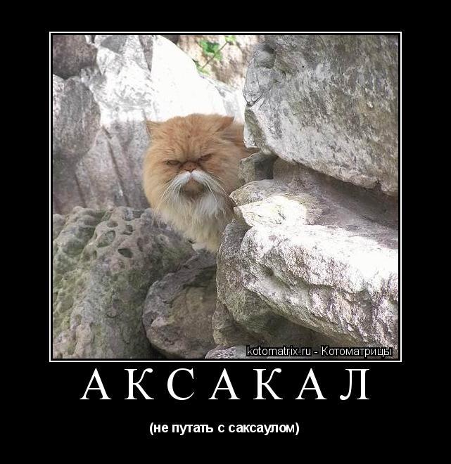 Котоматрица: АКСАКАЛ (не путать с саксаулом)