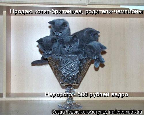 Котоматрица: Продаю котят-британцев, родители-чемпионы Недорого - 500 рублей ведро
