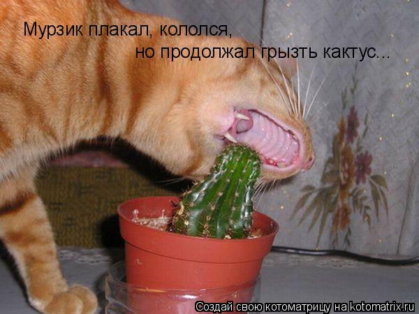 Котоматрица: Мурзик плакал, кололся, но продолжал грызть кактус...