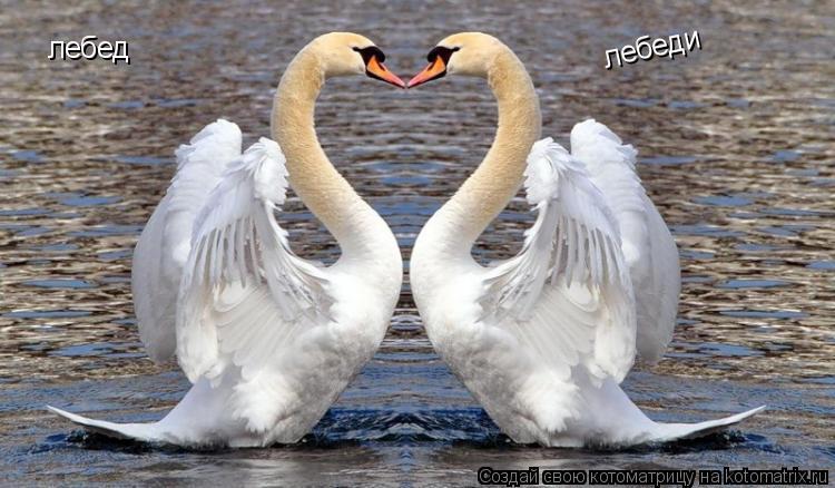 Котоматрица: лебеді лебеди