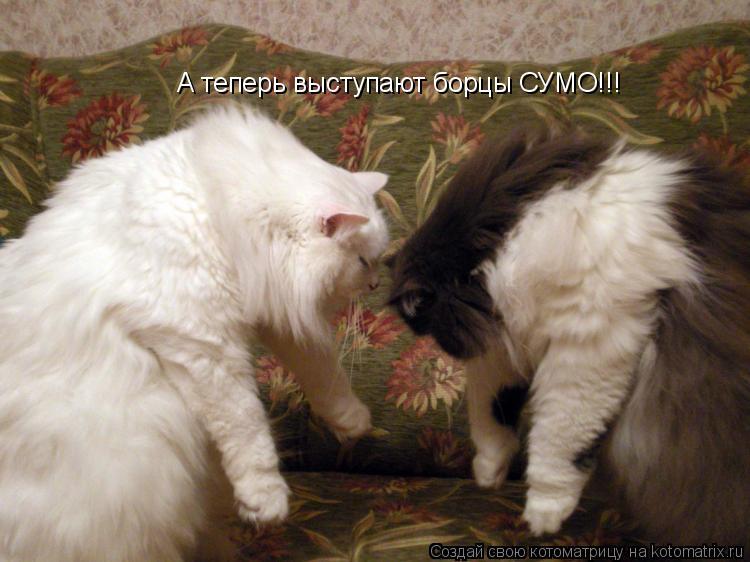 Котоматрица: А теперь выступают борцы СУМО!!!