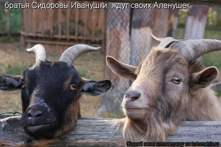 Котоматрица: братья Сидоровы Иванушки, ждут своих Аленушек