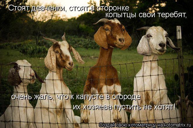 Котоматрица: Стоят девченки, стоят в сторонке копытцы свои теребят, очень жаль, что к капусте в огороде их хозяева пустить не хотят!