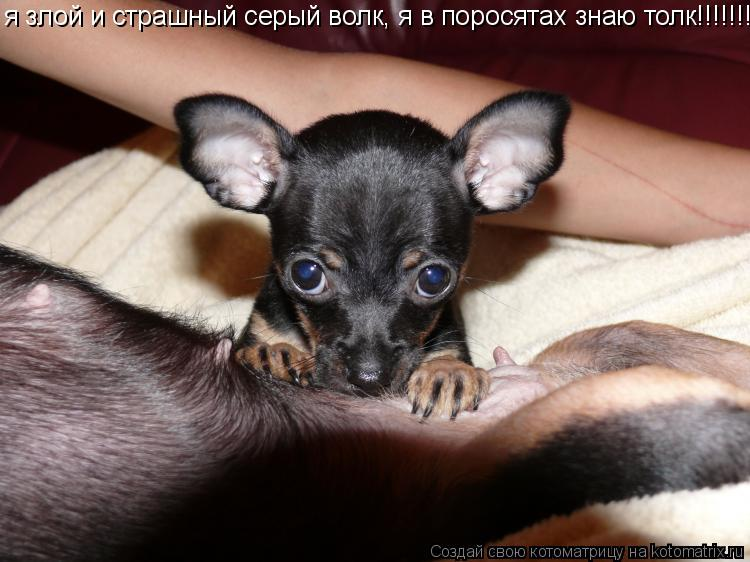 Котоматрица: я злой и страшный серый волк, я в поросятах знаю толк!!!!!!!!