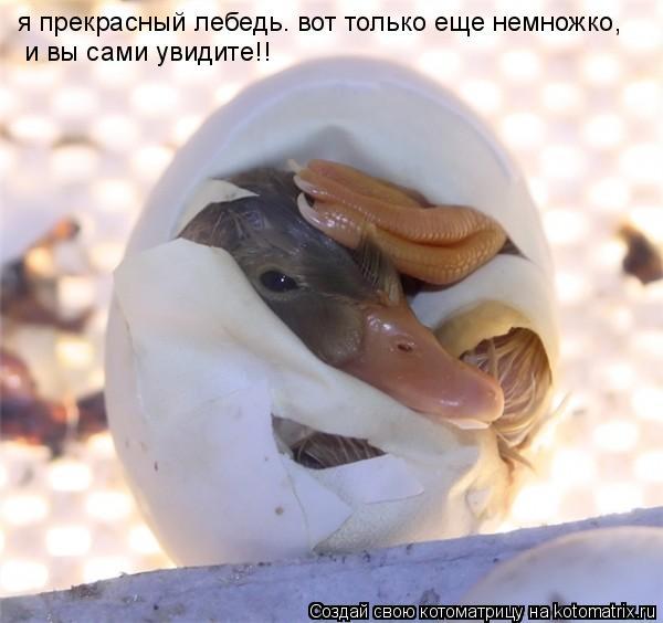 Котоматрица: я прекрасный лебедь. вот только еще немножко, и вы сами увидите!!