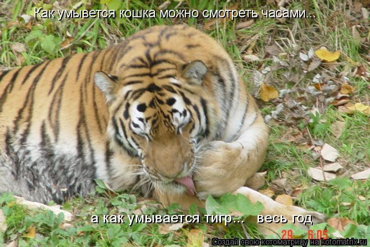 Котоматрица: Как умывется кошка можно смотреть часами... а как умывается тигр...   весь год