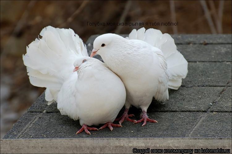 Котоматрица: Голубка моя сизакрылая я тебя люблю!