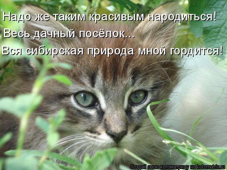 Котоматрица: Надо же таким красивым народиться! Весь дачный посёлок... Вся сибирская природа мной гордится!