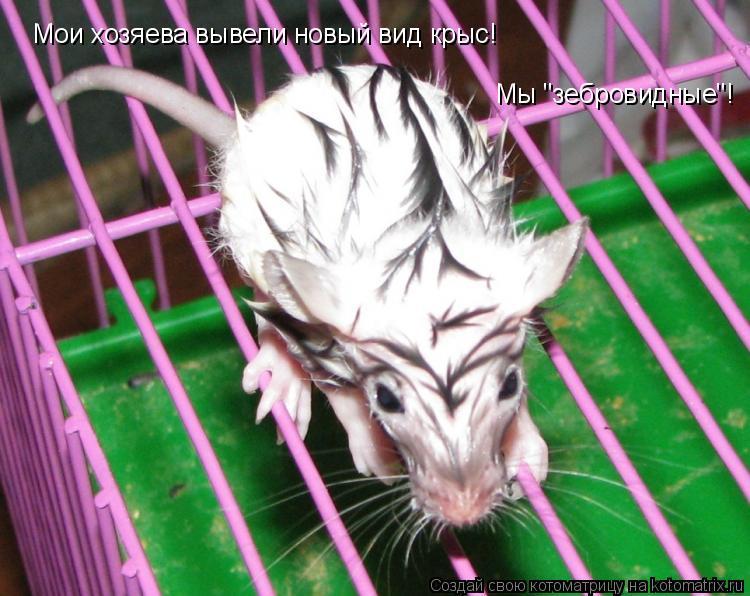 """Котоматрица: Мои хозяева вывели новый вид крыс! Мы """"зебровидные""""!"""