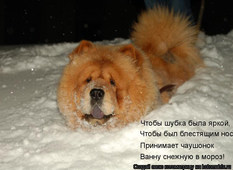 Котоматрица: Чтобы шубка была яркой, Чтобы был блестящим нос Принимает чаушонок Ванну снежную в мороз!