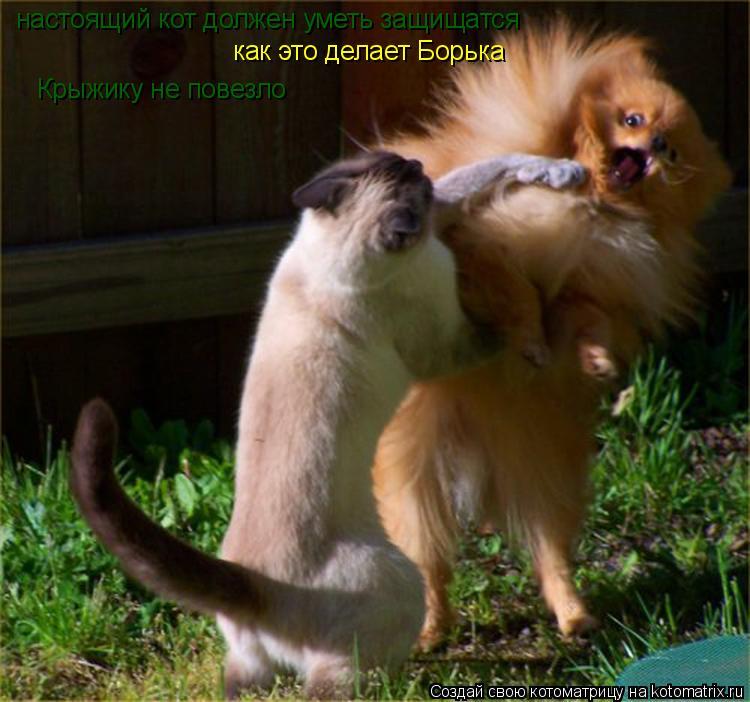 Котоматрица: настоящий кот должен уметь защищатся как это делает Борька Крыжику не повезло