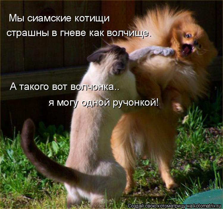 Котоматрица: Мы сиамские котищи страшны в гневе как волчище. А такого вот волчонка.. я могу одной ручонкой!