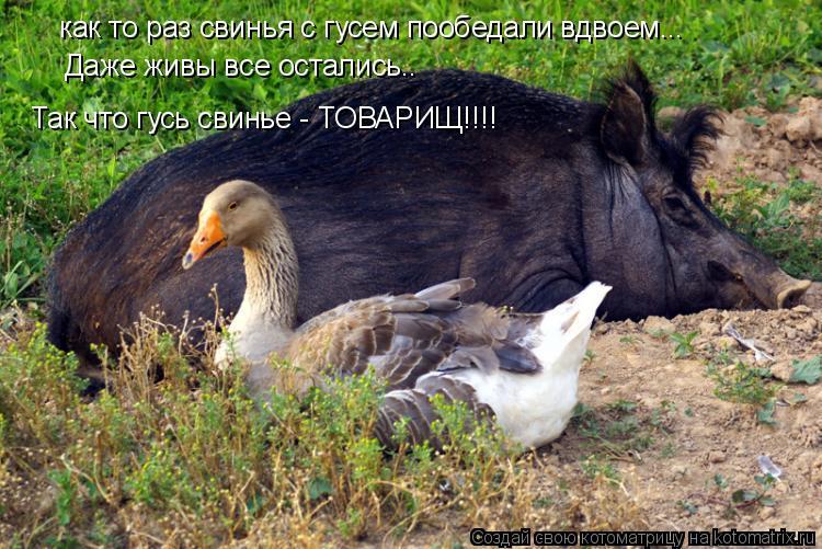 Котоматрица: как то раз свинья с гусем пообедали вдвоем... Даже живы все остались.. Так что гусь свинье - ТОВАРИЩ!!!!