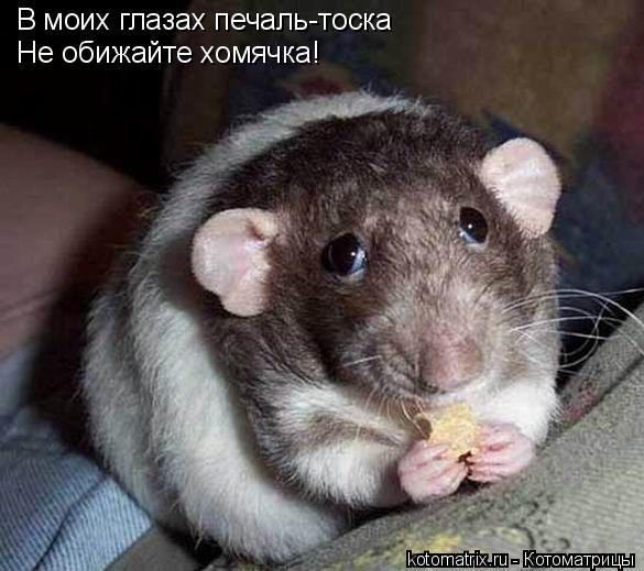 Котоматрица: В моих глазах печаль-тоска Не обижайте хомячка!