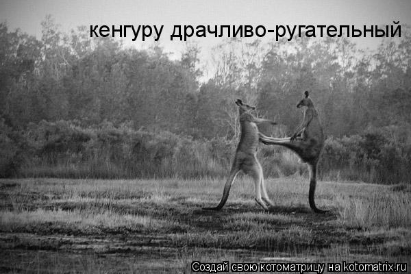 Котоматрица: кенгуру драчливо-ругательный