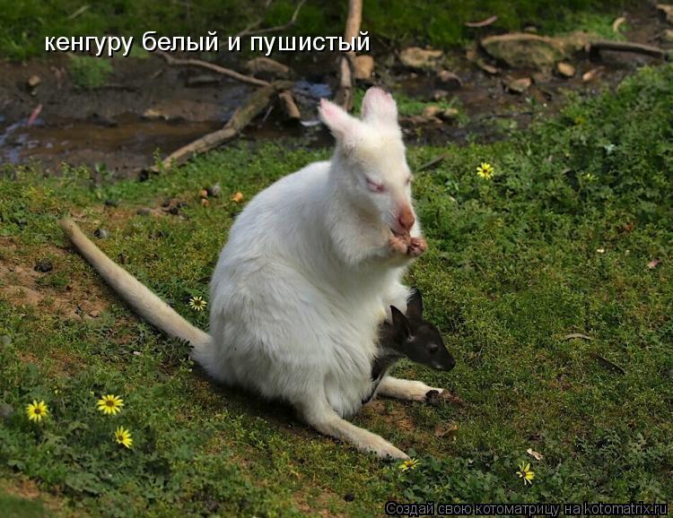 Котоматрица: кенгуру белый и пушистый