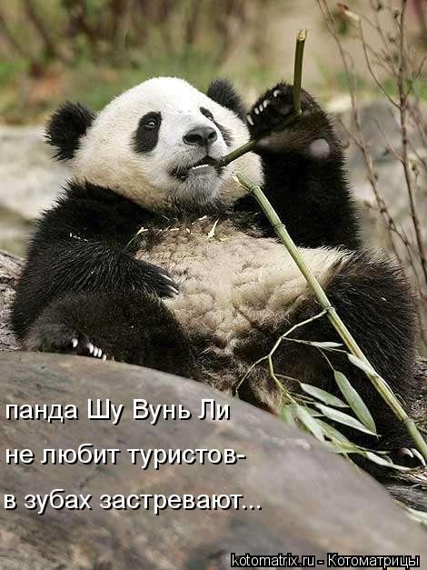 Котоматрица: панда Шу Вунь Ли в зубах застревают... не любит туристов-