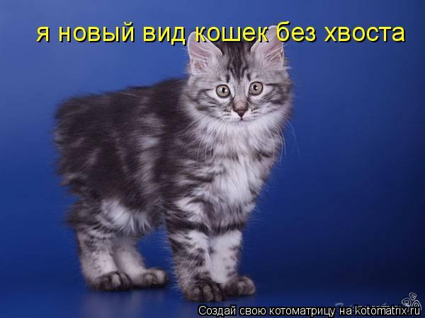 Котоматрица: я новый вид кошек без хвоста