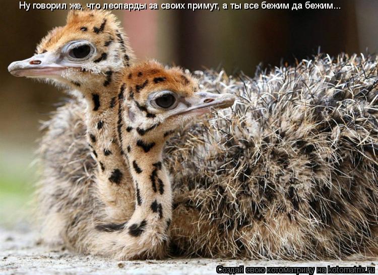 Котоматрица: Ну говорил же, что леопарды за своих примут, а ты все бежим да бежим...