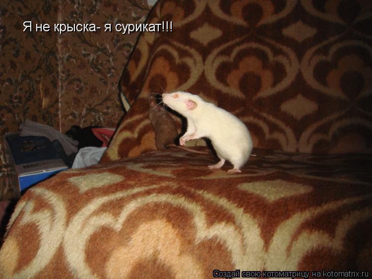 Котоматрица: Я не крыска- я сурикат!!!