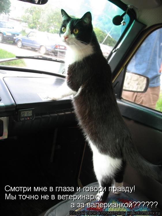 Котоматрица: Смотри мне в глаза и говори правду! Мы точно не в ветеринарку,  а за валерианкой??????