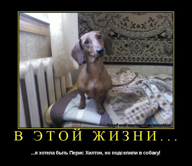 Котоматрица: В этой жизни... ...я хотела быть Перис Хилтон, но подселили в собаку!