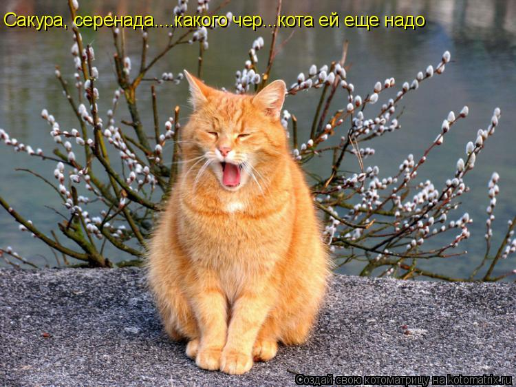 Котоматрица: Сакура, серенада....какого чер...кота ей еще надо
