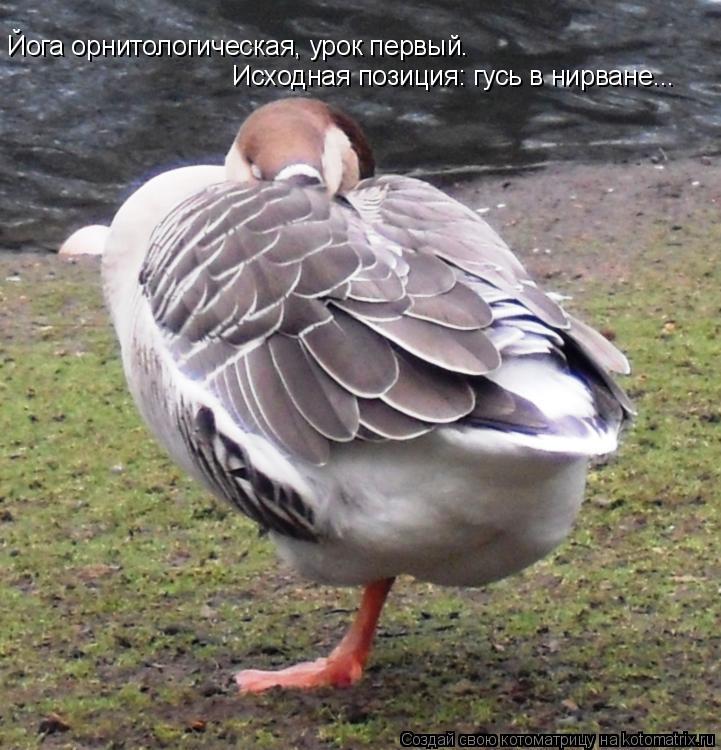 Котоматрица: Йога орнитологическая, урок первый. Исходная позиция: гусь в нирване...
