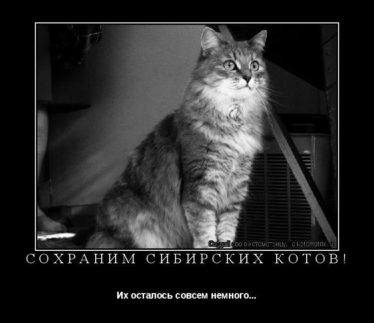 Котоматрица: Сохраним сибирских котов! Их осталось совсем немного...