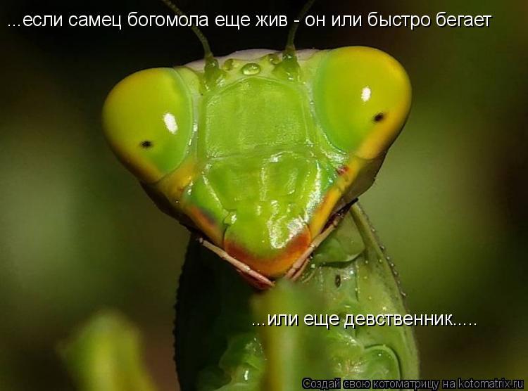 Котоматрица: ...если самец богомола еще жив - он или быстро бегает ...или еще девственник.....