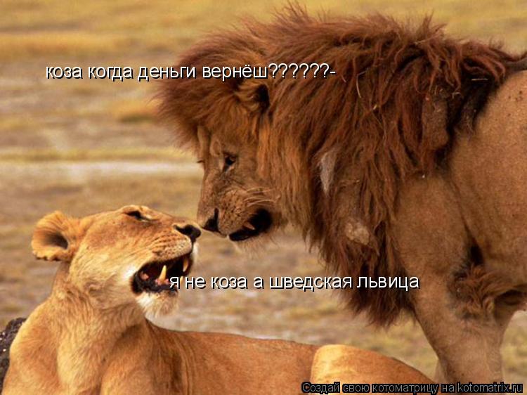 Котоматрица: коза когда деньги вернёш??????- я не коза а шведская львица