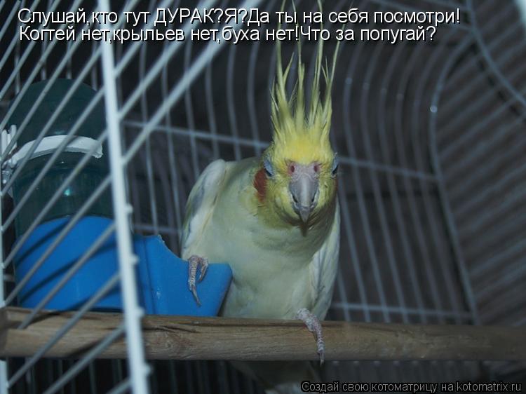 Котоматрица: Слушай,кто тут ДУРАК?Я?Да ты на себя посмотри! Когтей нет,крыльев нет,буха нет!Что за попугай?