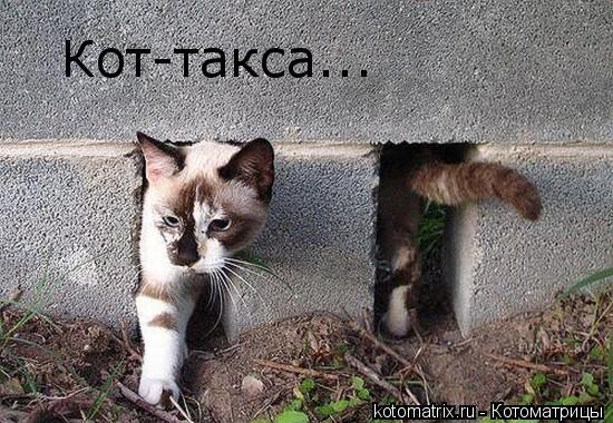 Котоматрица: Кот-такса...