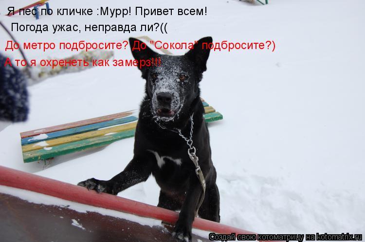 """Котоматрица: Я пес по кличке :Мурр! Привет всем! Погода ужас, неправда ли?(( До метро подбросите? До """"Сокола"""" подбросите?) А то я охренеть как замерз!!!"""