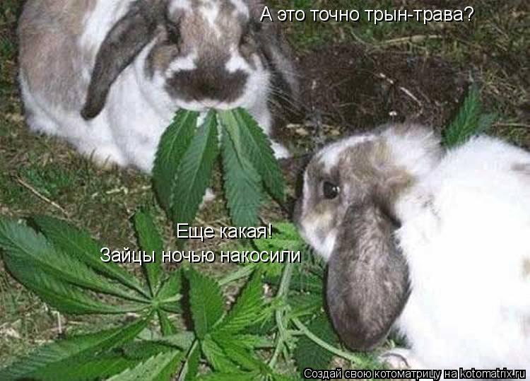 Котоматрица: А это точно трын-трава? Еще какая! Зайцы ночью накосили
